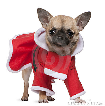 Chihuahua, 11 months old, in Santa outfit
