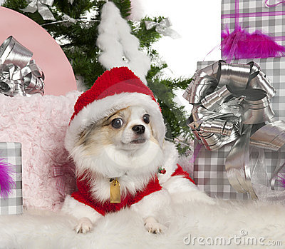 Chihuahua, 2 years old, with Christmas tree