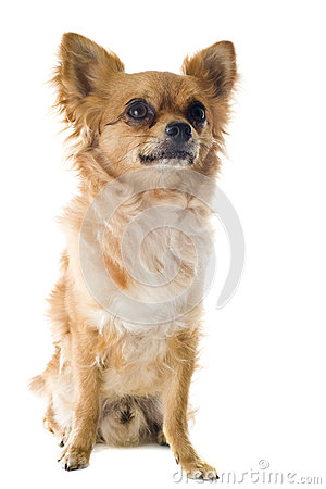 Chihuahua Royalty Free Stock Photography - Image: 25408757