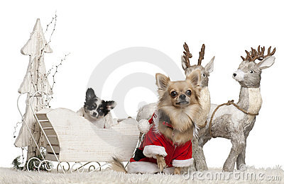 Chihuahua, 3 years old, and Chihuahua puppy, 9