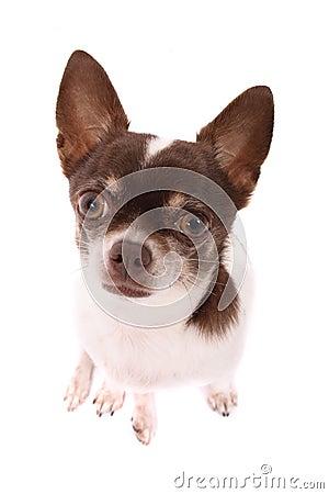 Free Chihuahua Stock Image - 3409091