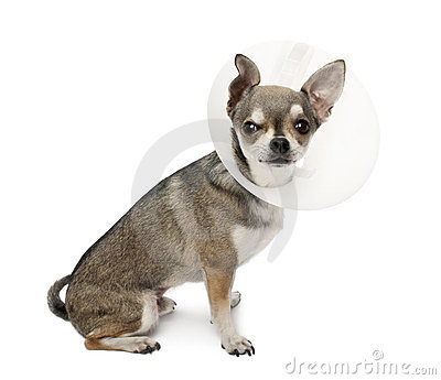 Chihuahua, 4 years old, wearing a space collar