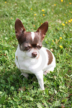 Free Chihuahua Stock Images - 4671314