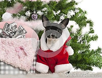 Chihuahua, 7 maanden oud, die de uitrusting van de Kerstman draagt