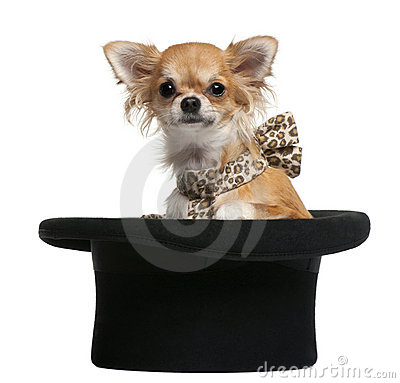 Chihuahua, 7 months old, sitting in top hat