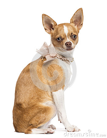 Chihuahua, 7 months old, wearing lace collar
