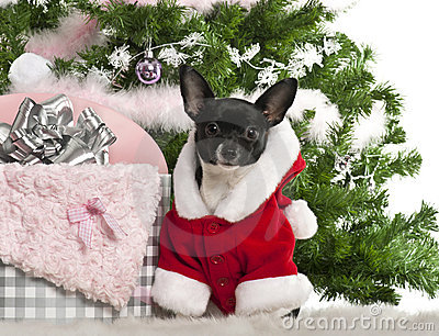 Chihuahua, 7 months old, wearing Santa outfit