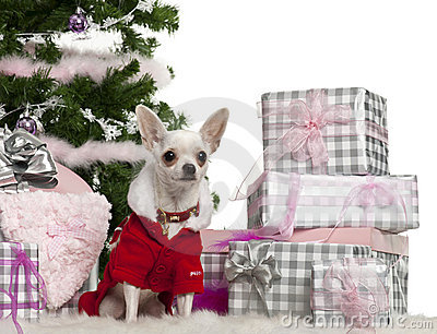 Chihuahua, 8 months old, wearing Santa outfit