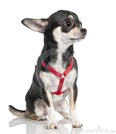 Chihuahua (9 months old)