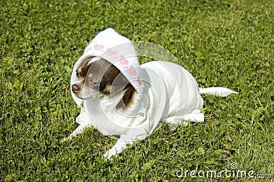 Chihuahua as newborn