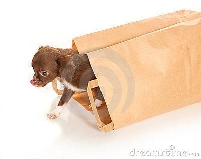 Chihuahua baby in paper bag
