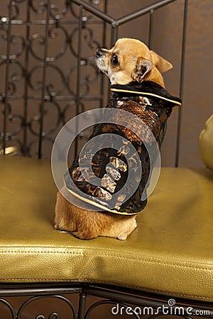 Chihuahua brown dog