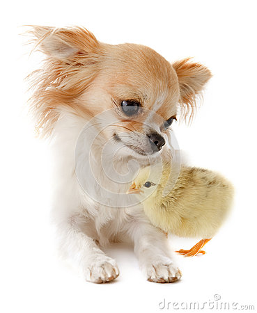 Chihuahua and chick