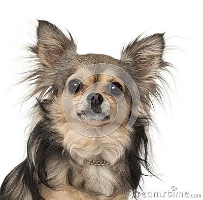 Chihuahua close-up