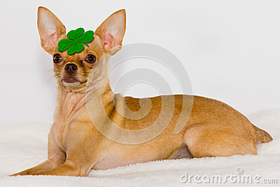 Chihuahua with clover on head.