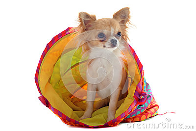 Chihuahua in a colorful bed