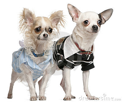 Chihuahua couple dressed up, 1 year old
