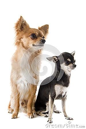 Chihuahua do filhote de cachorro e do adulto