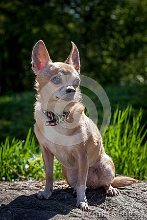 Free Chihuahua Dog, 12 Years Old Stock Photos - 119175483