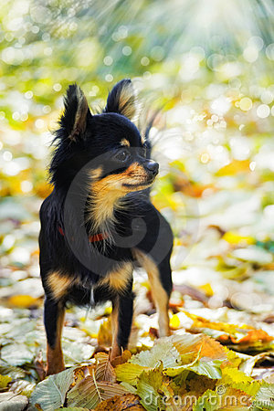 Chihuahua dog in autumn park