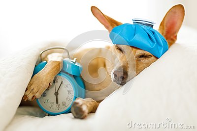 Dog sick or ill in bed Stock Photo
