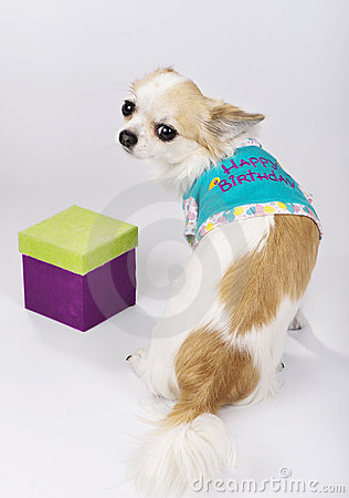 Chihuahua dog and a birthday gift