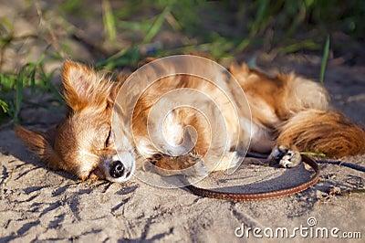 Chihuahua dog dozing at the beach