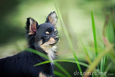 Chihuahua dog outdoor portrait