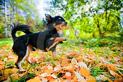 Chihuahua dog in a park