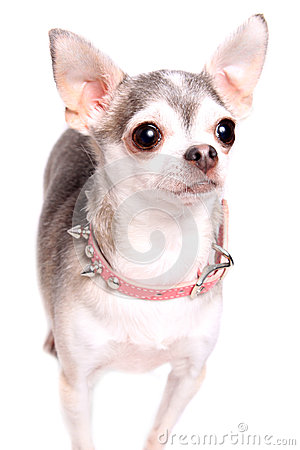 Chihuahua dog portrait