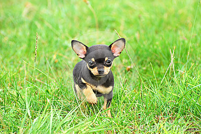 Chihuahua dog puppy