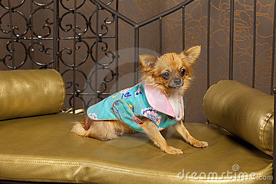 Chihuahua dog in vivid clothes