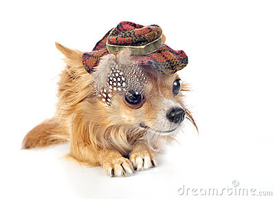 Chihuahua dog wearing in elegant tartan hat