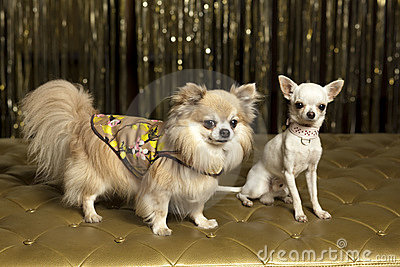 Chihuahua dogs in outfits