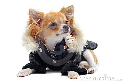 Chihuahua dressed
