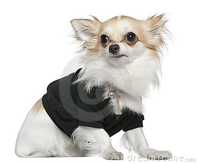 Chihuahua dressed in black, 1 year old, sitting