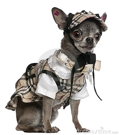 Chihuahua dressed in plaid outfit sitting