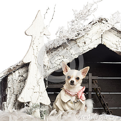 Chihuahua dressed and sitting