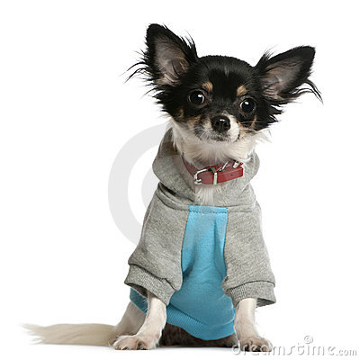 Chihuahua dressed in sweatshirt hoodi