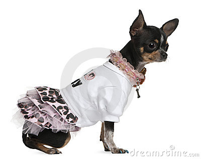 Chihuahua dressed up, 1 year old, dressed up