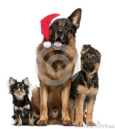 Chihuahua e pastori tedeschi con il cappello della Santa