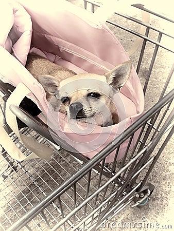 Chihuahua en carretilla de las compras