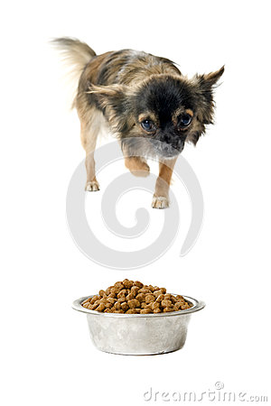Chihuahua and food bowl