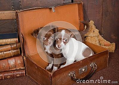 Chihuahua friends
