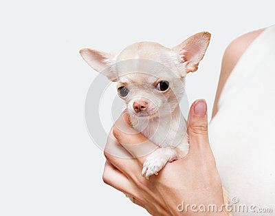 Chihuahua in a hand