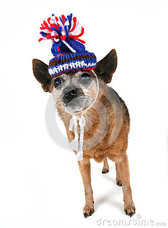 Chihuahua with a hat on