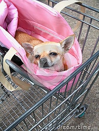 Chihuahua in het winkelen karretje