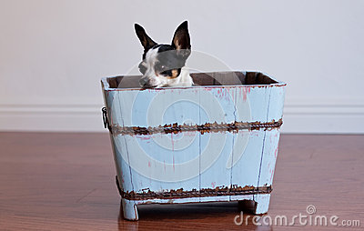 Chihuahua hiding in a blue wood box
