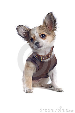 Free Chihuahua In A Shirt Royalty Free Stock Image - 2983766