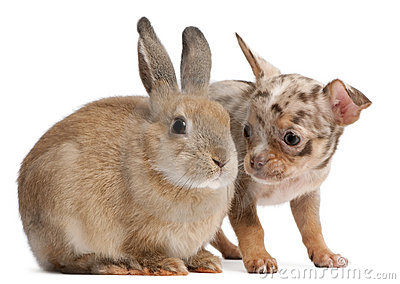 Chihuahua interacting with a rabbit